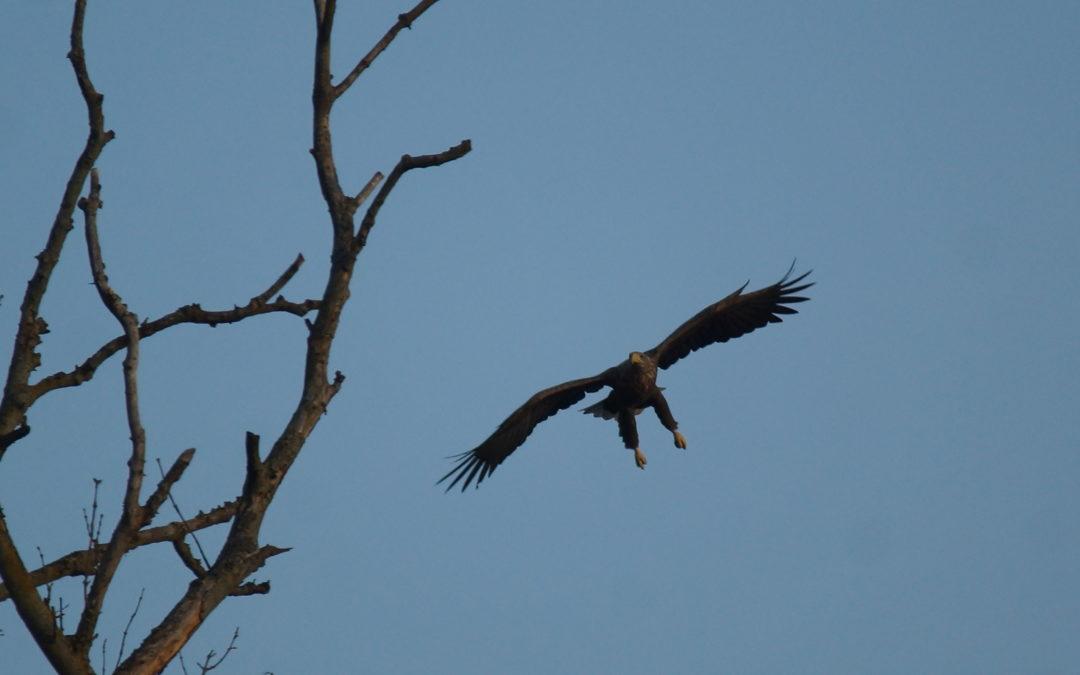 Bildervortrag: Seeadler an Schlei & Ostsee am 11. Oktober