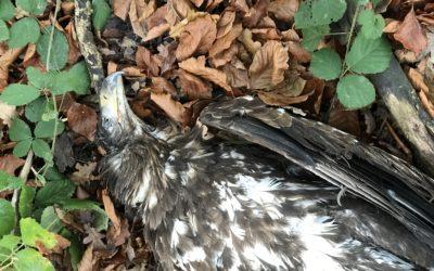 Verendeter Seeadler in Thumby