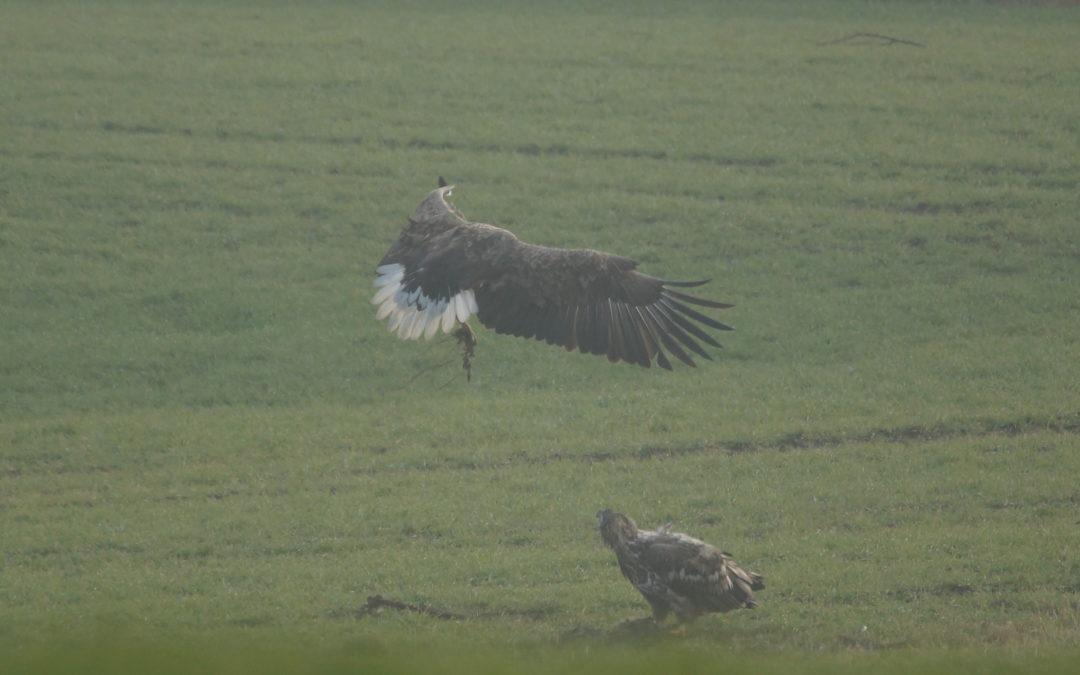 23.1.2017 Seeadler auf der Halbinsel Schwansen