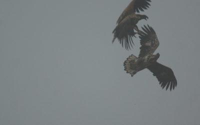 2. Februar 2017: Seeadler auf der Halbinsel Schwansen