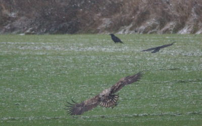 7. Februar 2017: Seeadler auf und über Schwansen