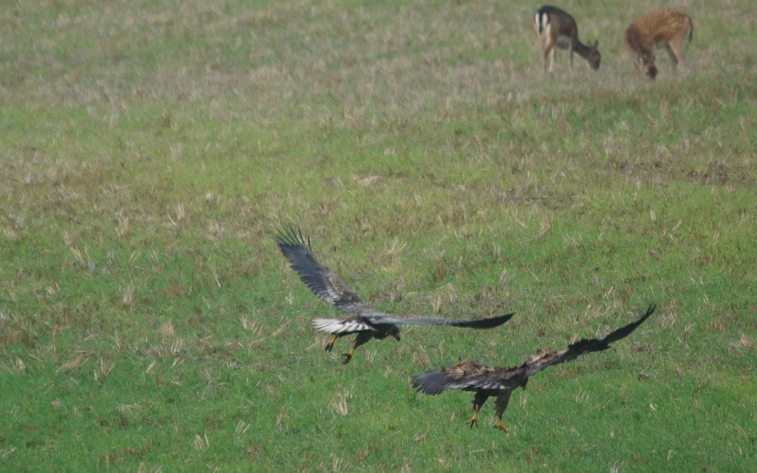 Seeadler, Rotmilan und Schwarzstorch: Momentan lassen sich in der Region unterschiedliche Arten gut beobachten