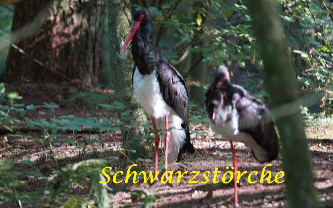 7 Schwarzstorchreviere in Schleswig-Holstein – davon 3 im Kreis Rendsburg-Eckernförde