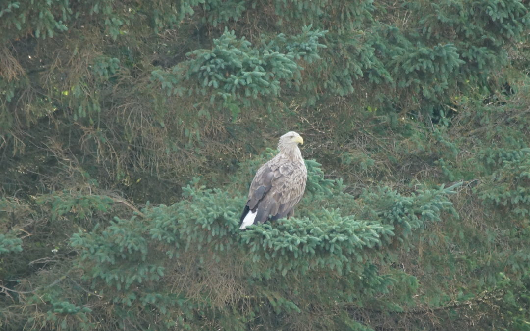 Adulter Seeadler in Waabs