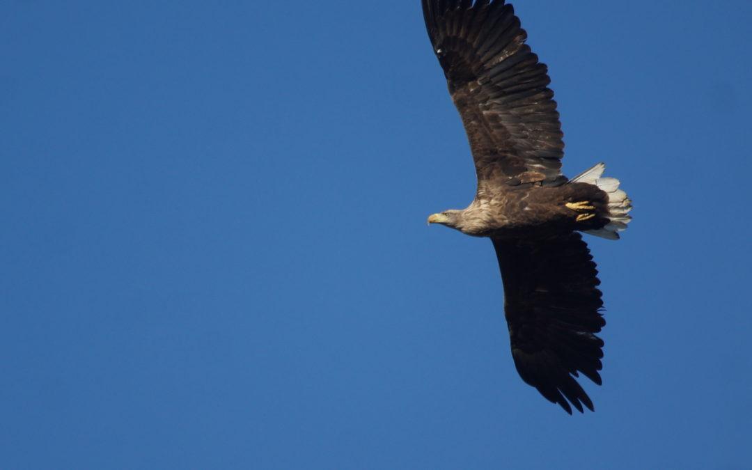 Faszination Seeadler: Derzeit gibt es beste Möglichkeiten, den König der Lüfte zu erleben –