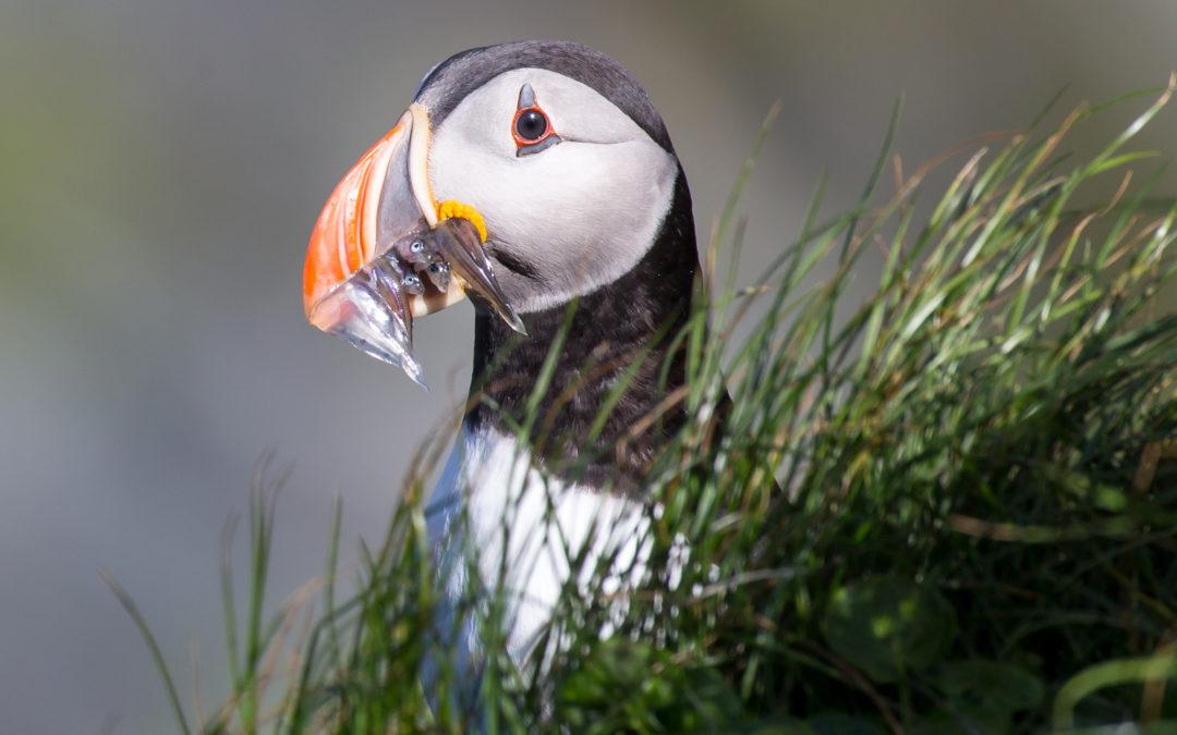 """Bildervortrag """"Norwegens Vogelwelt"""" am Montag, 5. November um 19 Uhr"""