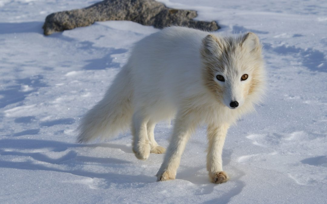 Bildervortrag am Montag, 6. Mai: Lebensräume von Polarfuchs, Moschusochsen und Braunbären