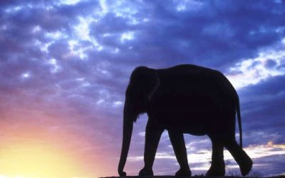 """""""Haben Asiens Elefanten eine Zukunft?"""" – Bildervortrag am 1. April in Barkelsby"""