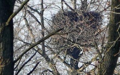Das war zu erwarten: Seeadler geben ihre Brut in der Gemeinde Thumby nach massiven Störungen auf!