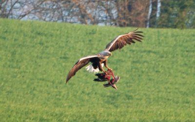 Erfreulich: Seeadlernachwuchs auf der Halbinsel Schwansen