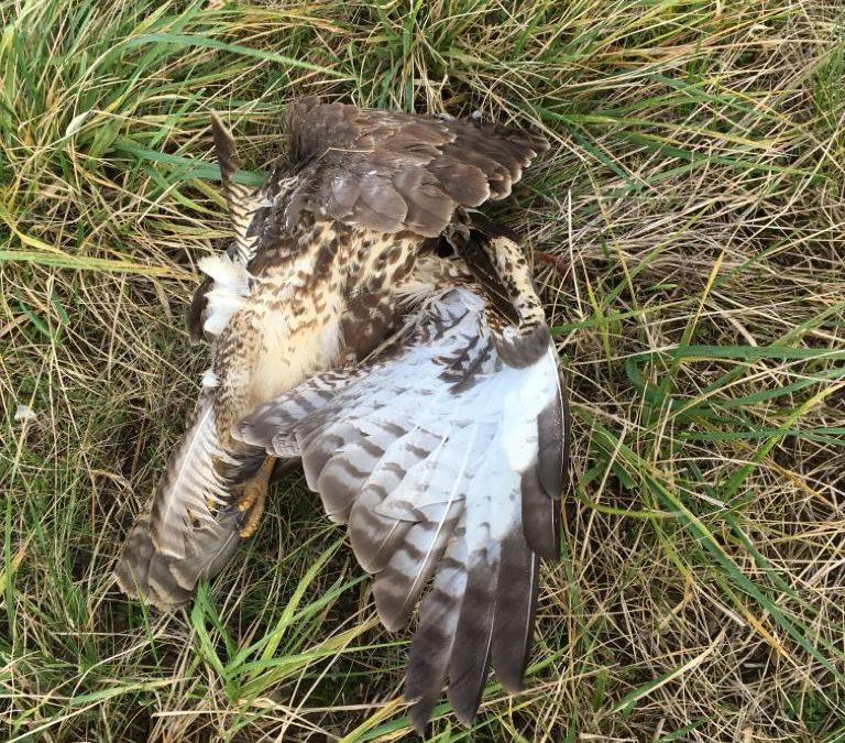 Wieder Mäusebussard von Windkraftanlage in Holtsee erschlagen