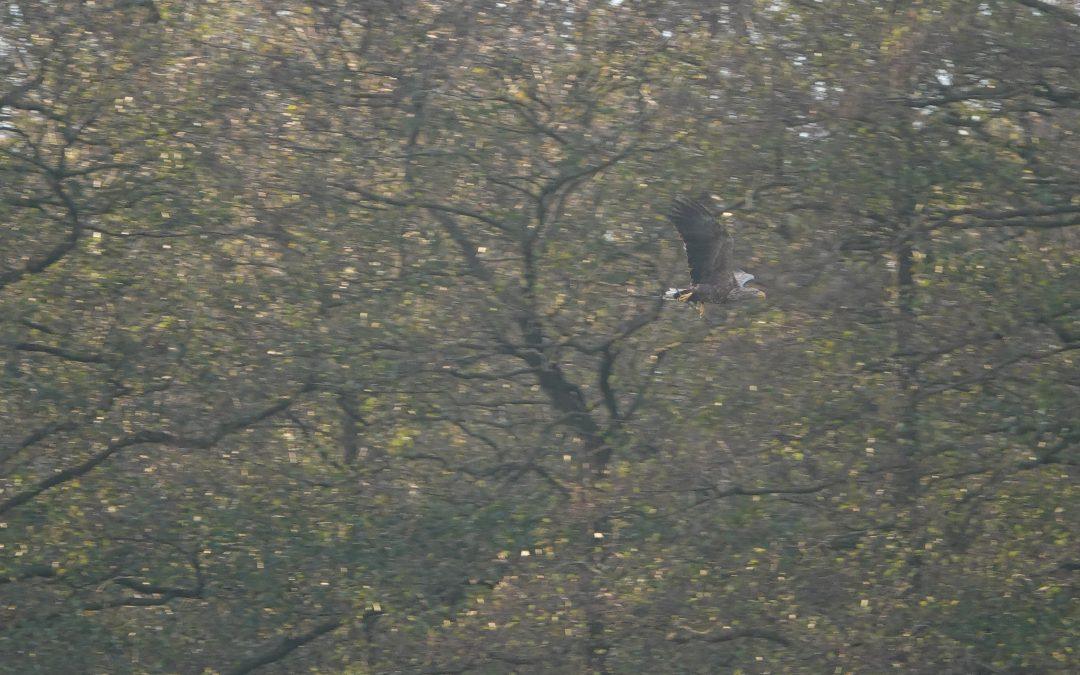 Typisch Oktober: Immer wieder kann dieser Tage beobachtet werden, dass die Seeadler dünne Äste zu ihrem Horst fliegen, um bereits jetzt Ausbesserungsarbeiten durchzuführen