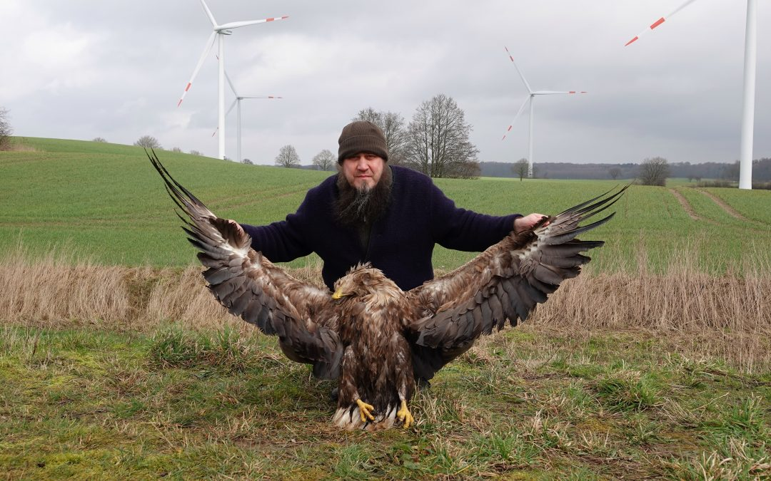 Seeadler und Turmfalke von Windkraftanlage in Holtsee erschlagen