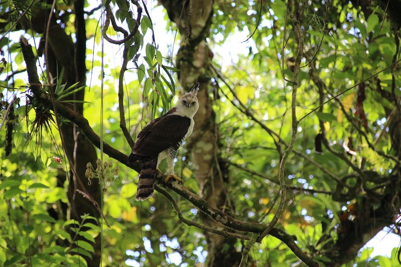 Prachtadler in Costa Rica