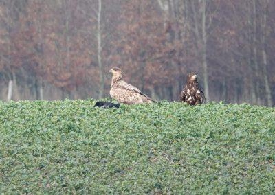 Seeadler in Büchenau - Rieseby