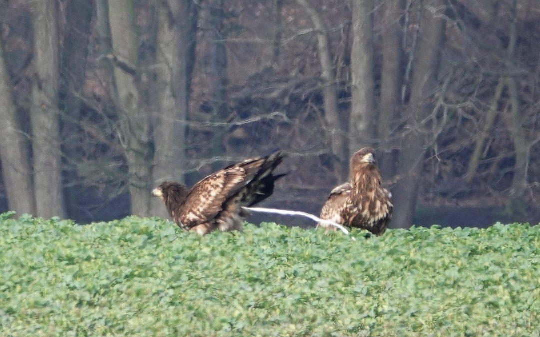 Seeadler und Rotmilane am 7.3.2020 in Büchenau/Rieseby