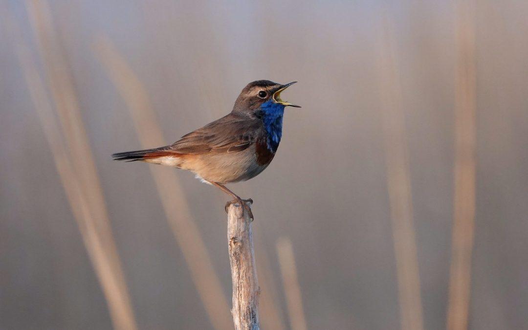 Wunderschön auf Brautschau: Blaukehlchen singen rund um die Schlei
