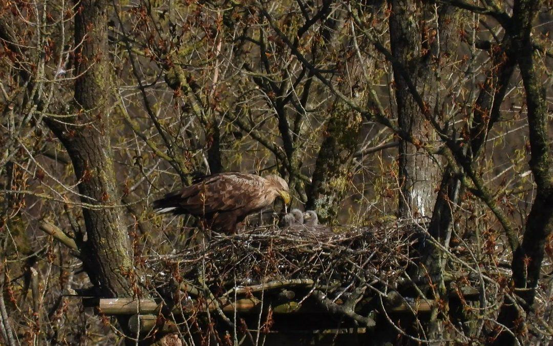 Seeadlernachwuchs am Burgsee wohl auf