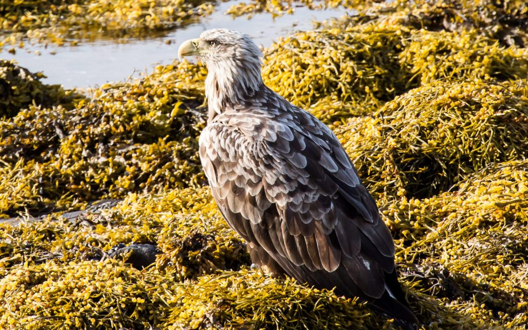 Seeadler in Varanger / Norwegen