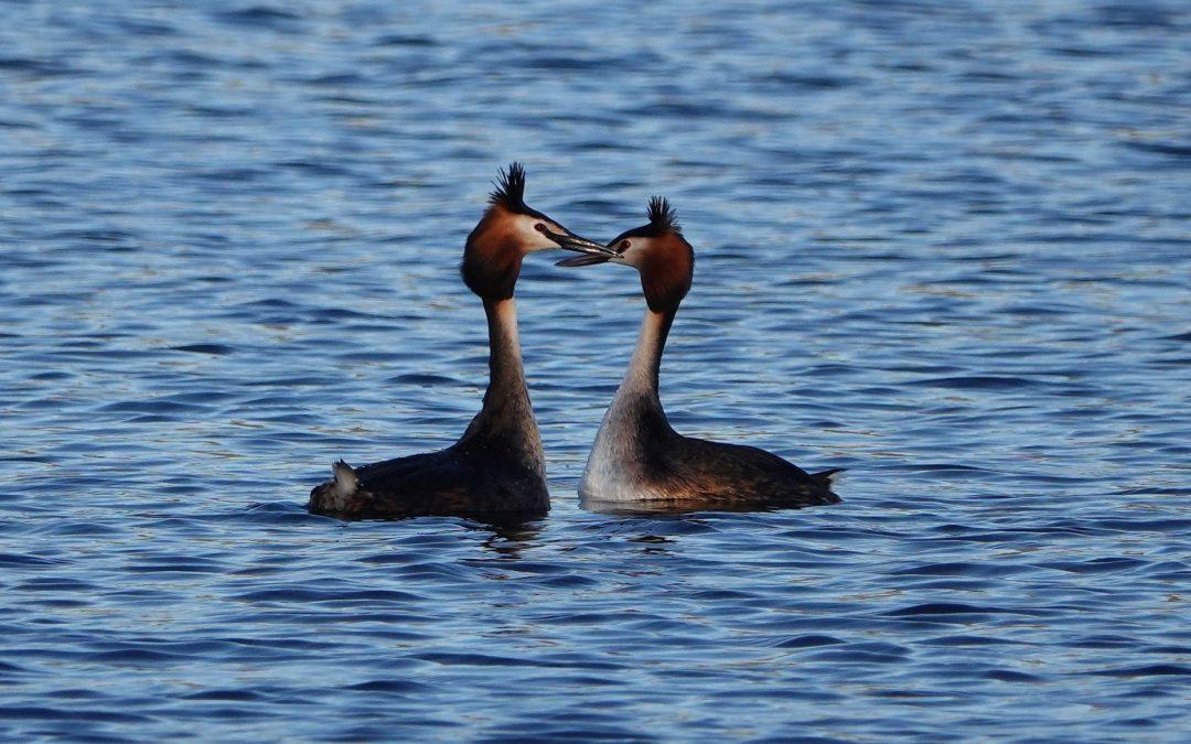 Pinguintanz und Kopfschüttelzeremonie – die Balz der Haubentaucher
