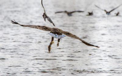 Heute ist in Schleswig am Burgsee das erste Seeadlerjunge geschlüpft!