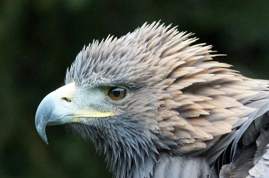 Anderen eine Freude bereiten: Adlerbilder aus aller Welt