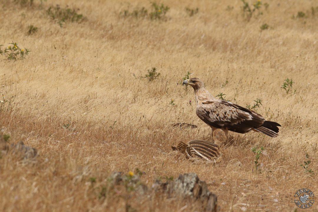 Immaturer Spanischer Kaiseradler in Extremadura / Spanien