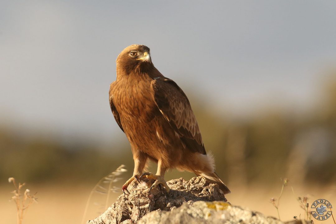 Junger Spanischer Kaiseradler in Extremadura / Spanien