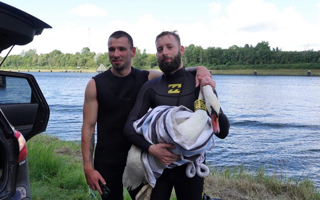 Doch noch ein gutes Ende: Mitgliedern des Seeadlerschutzes gelingt es den Schwan aus Holland aus dem NOK zu fangen