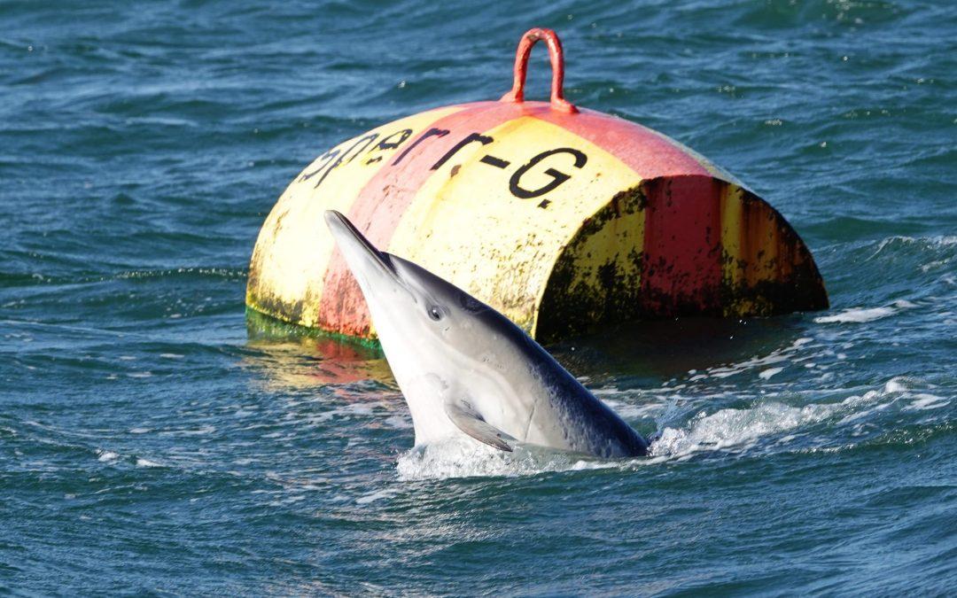 Delfin an der Tonne vor Hemmelmark (Barkelsby)