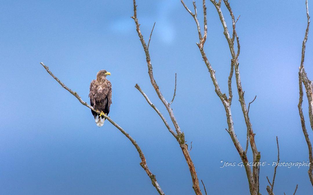 Seeadler im Kreis Stormarn