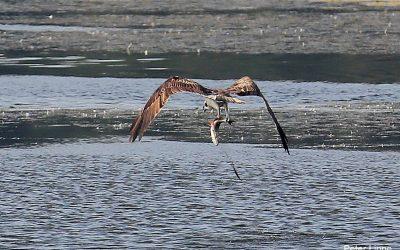 Fischadler am Burgsee in Schleswig