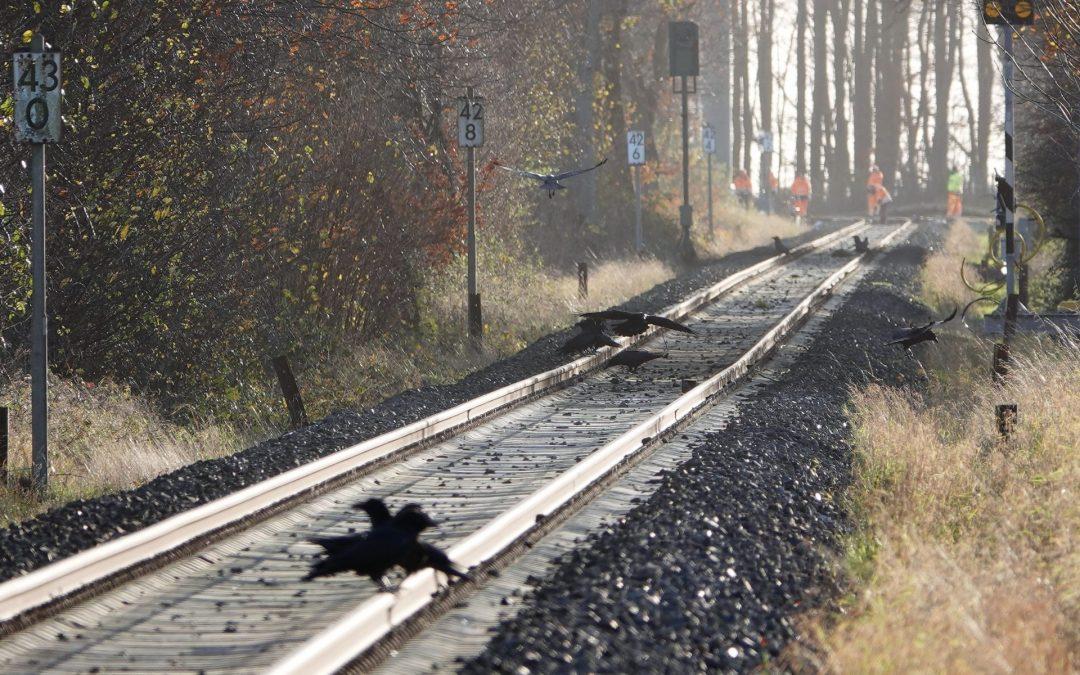 Verendete Tiere an Bahnstrecke Kiel-Flensburg ziehen Seeadler an