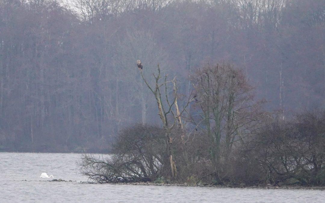 Seeadler Heiligabend am Wittensee