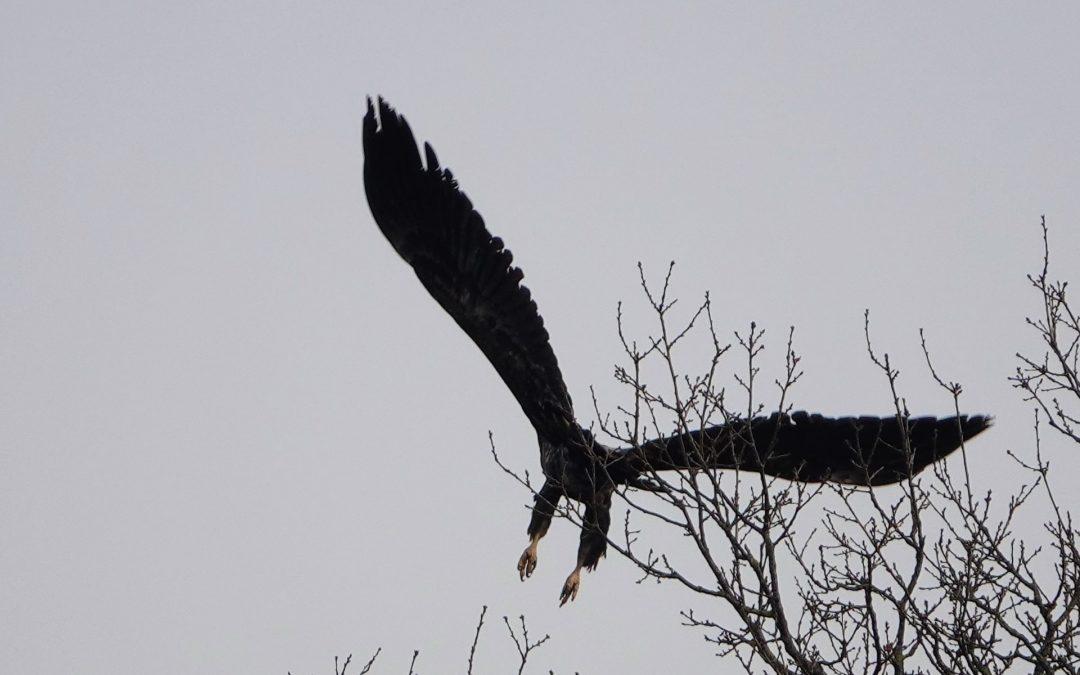 Seeadler am 2. Februar an der Schlei