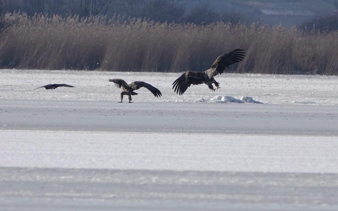 Seeadler auf dem zugefrorenen Schwansener See