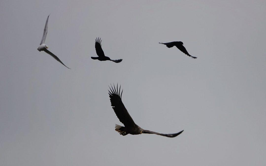 Seeadler heute (29.3.21) an der Schlei
