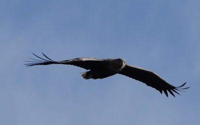Zwischen Schneegestöber und Sonnenschein: Seeadler am Ostermontag an der Schlei