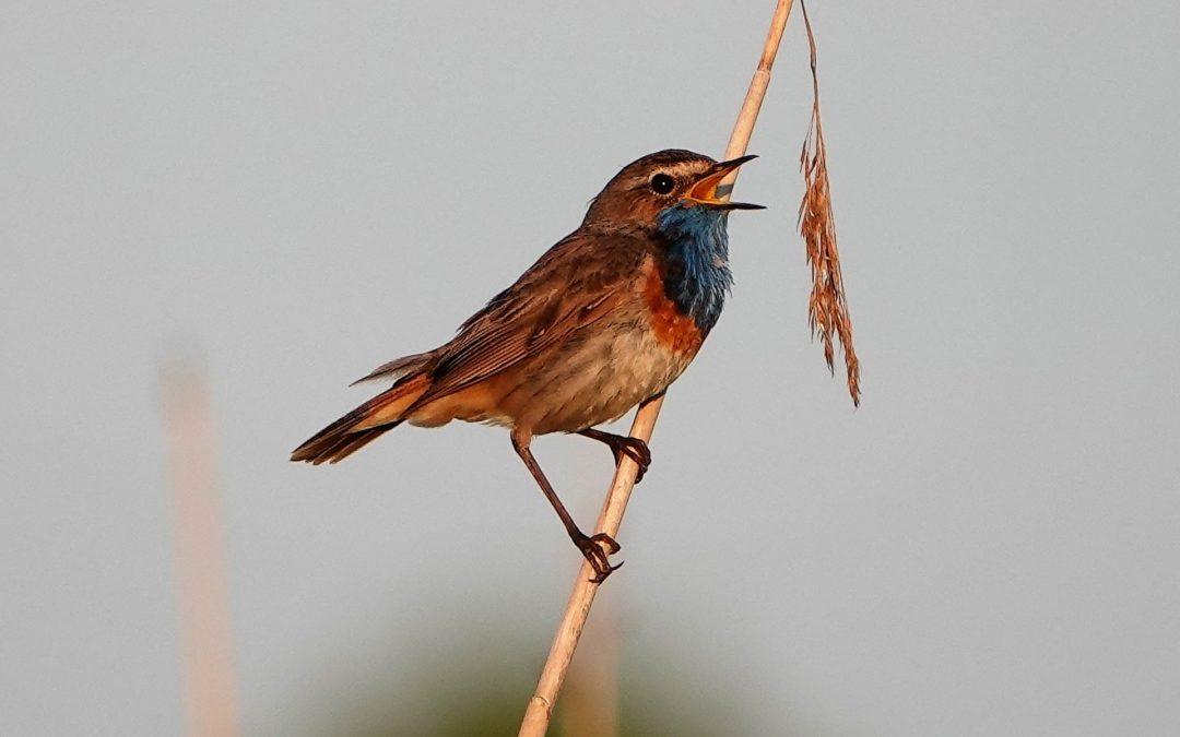 Blaukehlchen singen wieder an der Schlei