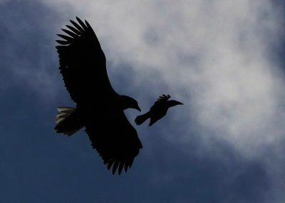 Gegenlicht Seeadler