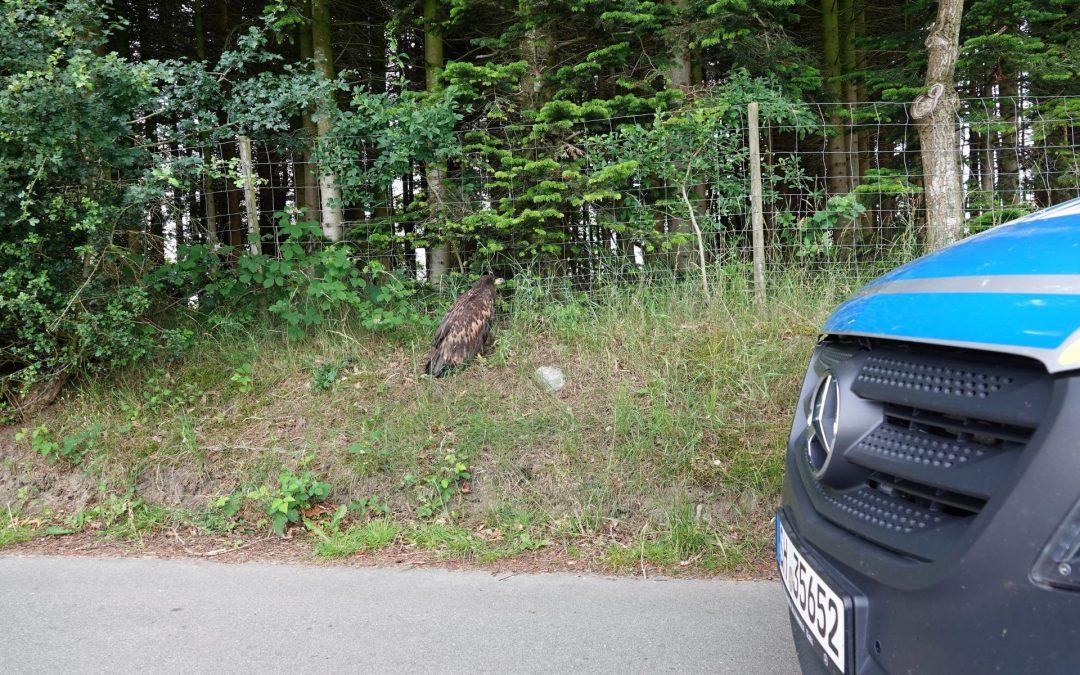 Seeadler bei Neudorf verendete qualvoll