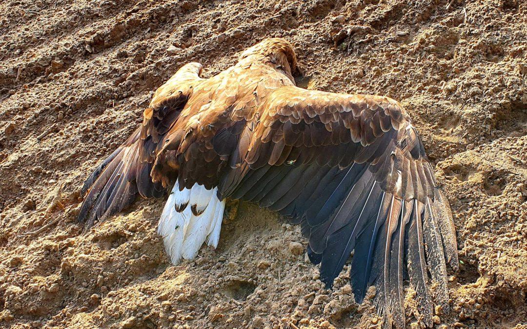 Verendeter, adulter Seeadler in Nordvorpommern aufgefunden