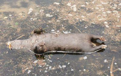 Verendeter Fischotter am Schleiufer aufgefunden